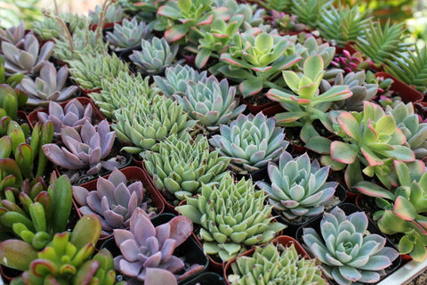"Bulk- Succulents 4"" Pot. Assorted 30 Plant Case- PREMIUM"
