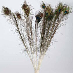 Peacock Feather- natural sold in pack of 24