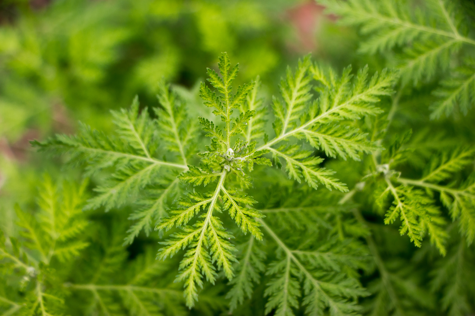 Artemisia - Africa's Super Herb | Health benefits, uses