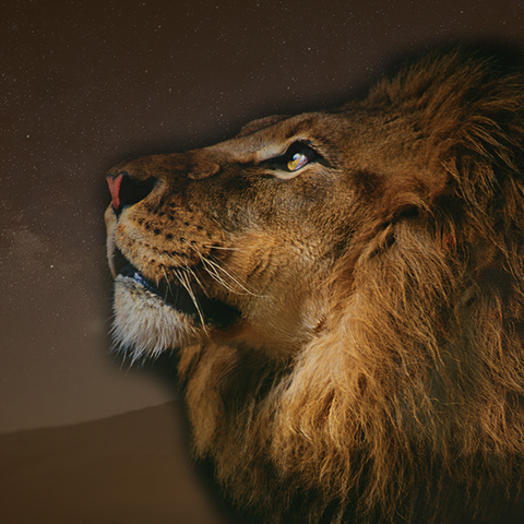 Lion looking skyward Birthday Reading for Leo Signs SEAH Designs Luxury Astrology Jewelry