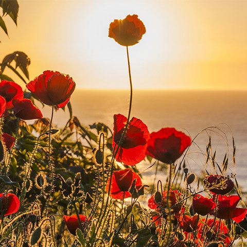 sun rising on a field of red flowers feature image for SEAH® The Spiritual Meaning of the Spring Equinox