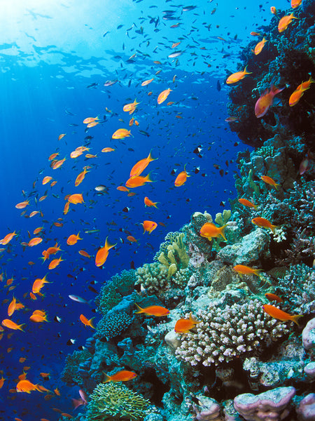 Red Sea Reef