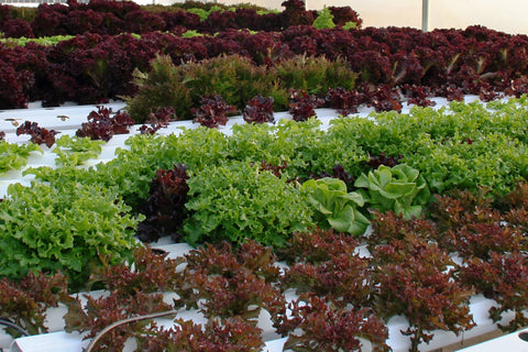 Lettuces - Hydroponics/Greenhouse