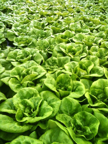 Lettuces, Charles  (long-day Butterhead type) (Hydroponics/Greenhouse)