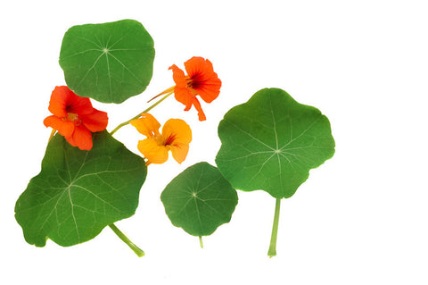 Flowers, Nasturtium, Dwarf Jewel, Mixed Colors