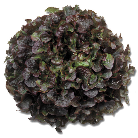 Lettuces, Bughatti (Red Oak Leaf Type) (Hydroponics/Greenhouse)