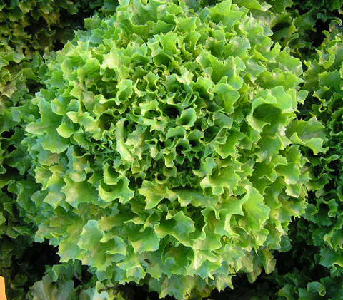 Lettuces, Multy Green  (short-day Salanova type) (Hydroponics/Greenhouse)