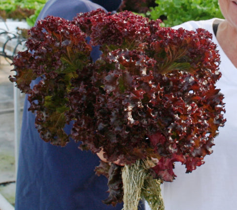 Lettuces, Revolution  (Lollo Rossa type) (Hydroponics/Greenhouse)