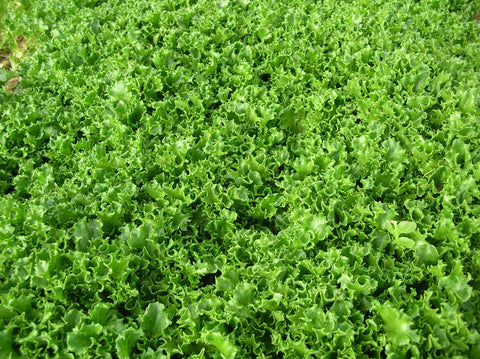 Lettuces, Mojito (Tango) (MI, Pellets) (Green Leaf)