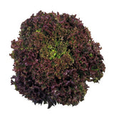 Lettuces, Soltero  (Lollo Rossa type) (Hydroponics/Greenhouse)