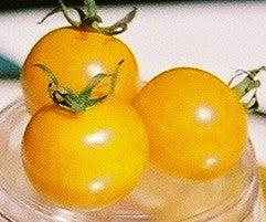 Tomatoes, Sun Gold F1 (Small Cherries/Pears)