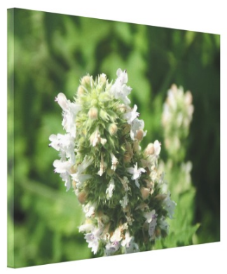 Catnip Blossoms - Canvas Gallery Wall Art - 8 x 10, 16 x 20, 24 x 36