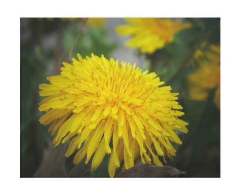 Sunny Dandelion - Canvas Gallery Wall Art - 8 x 10, 16 x 20, 24 x 36