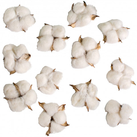 Set of 12 Natural Cotton Boll Pods - perfect farmhouse accent