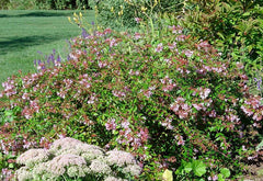 Abelia 'Edward Goucher'