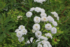 Achillea ptarmica (The Pearl Group) 'The Pearl' (clonal) (d)
