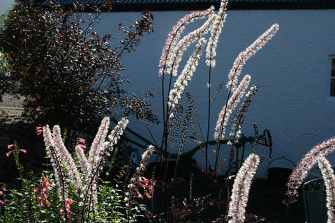 Actaea simplex (Atropurpurea Group) 'Black Negligee'