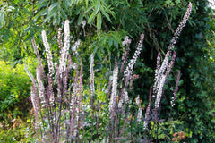 Actaea simplex (Atropurpurea Group) 'James Compton'