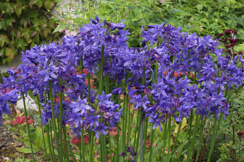 Agapanthus 'Cally Blue'