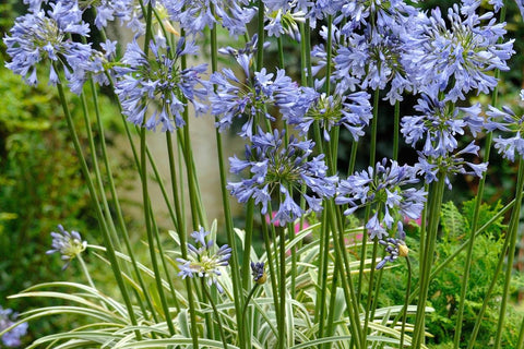 Agapanthus [Silver Moon] = 'Notfred'