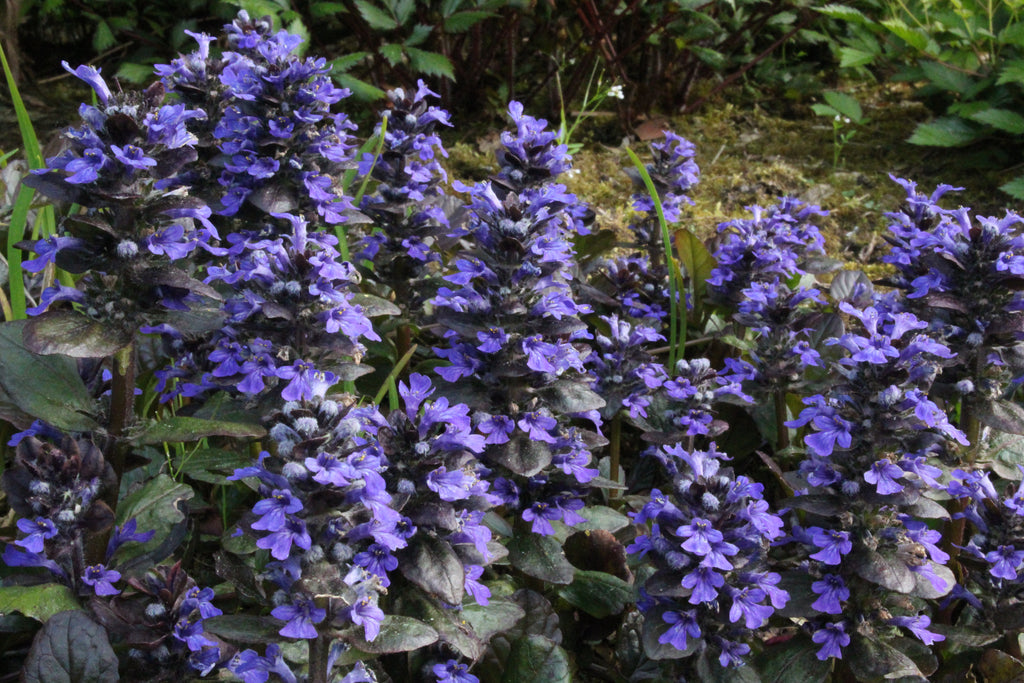 Picture of Live Carpet Bugle aka Ajuga r. 'Catlins Giant' Plant Fit 1 Gallon Pot