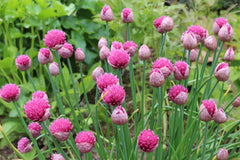 Allium schoenoprasum 'Pink Perfection'