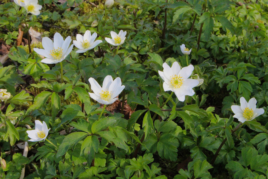 Anemone nemorosa 'Wilks' White'