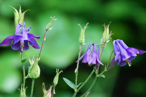 Aquilegia vulgaris 'Pretty Bonnets'
