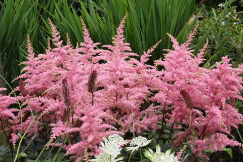 Astilbe 'Bressingham Beauty' (x arendsii)