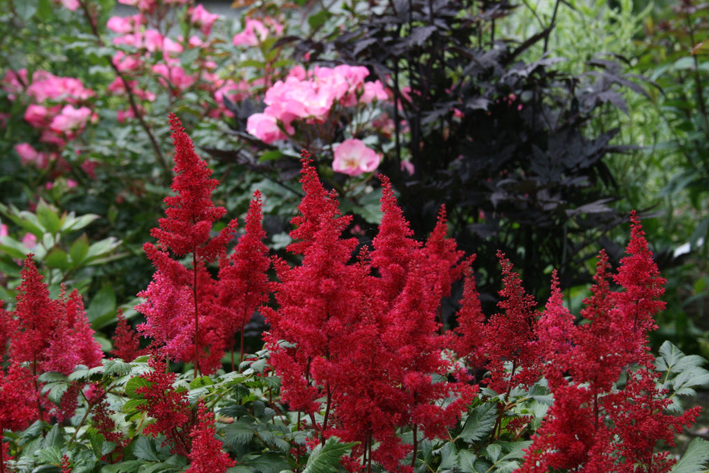 Astilbe 'Fanal' (x arendsii)