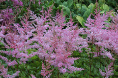 Astilbe 'Flamingo' (x arendsii)
