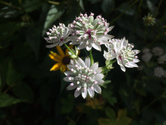 Astrantia major 'Star of Billion'