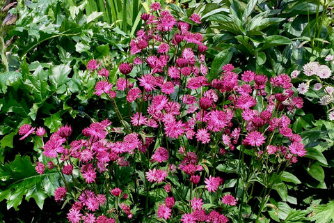 Astrantia major 'Venice'