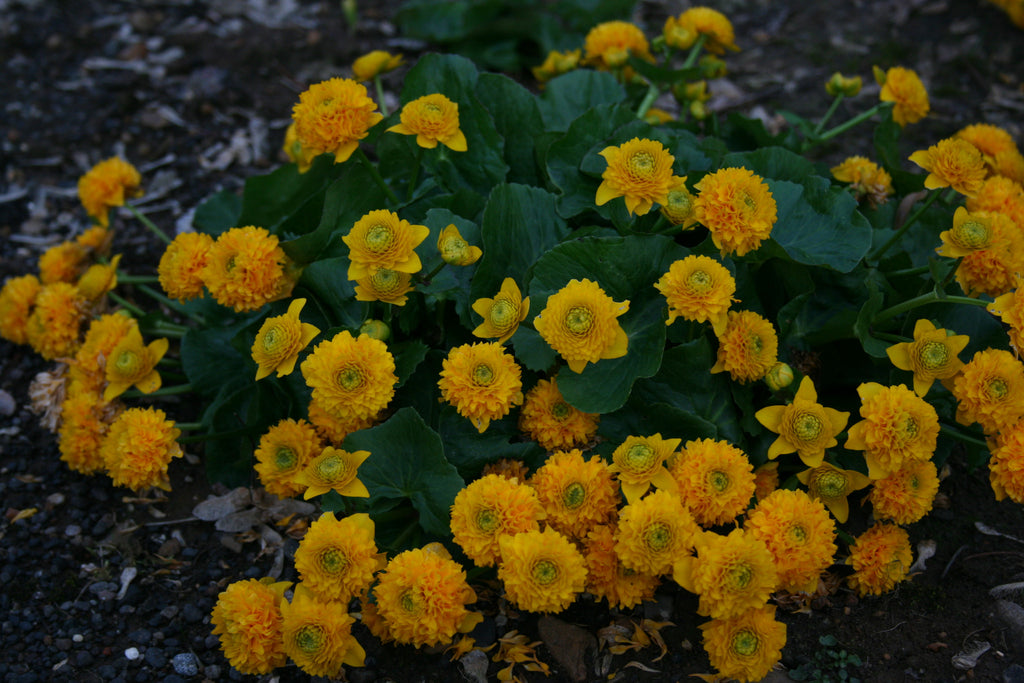 Caltha palustris 'Flore Pleno' (d)