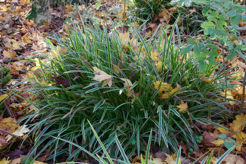 Carex 'Ice Dance' (v)