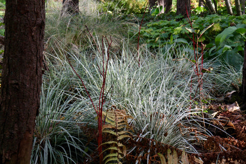 Carex oshimensis Everest = 'Fiwhite' (v)
