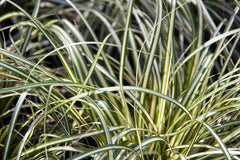 Carex oshimensis 'Evergold' (v)