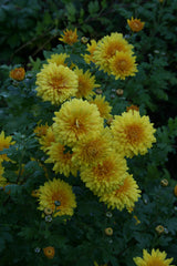 Chrysanthemum 'Spartan Canary'