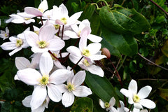 Clematis 'Apple Blossom' (Ar)