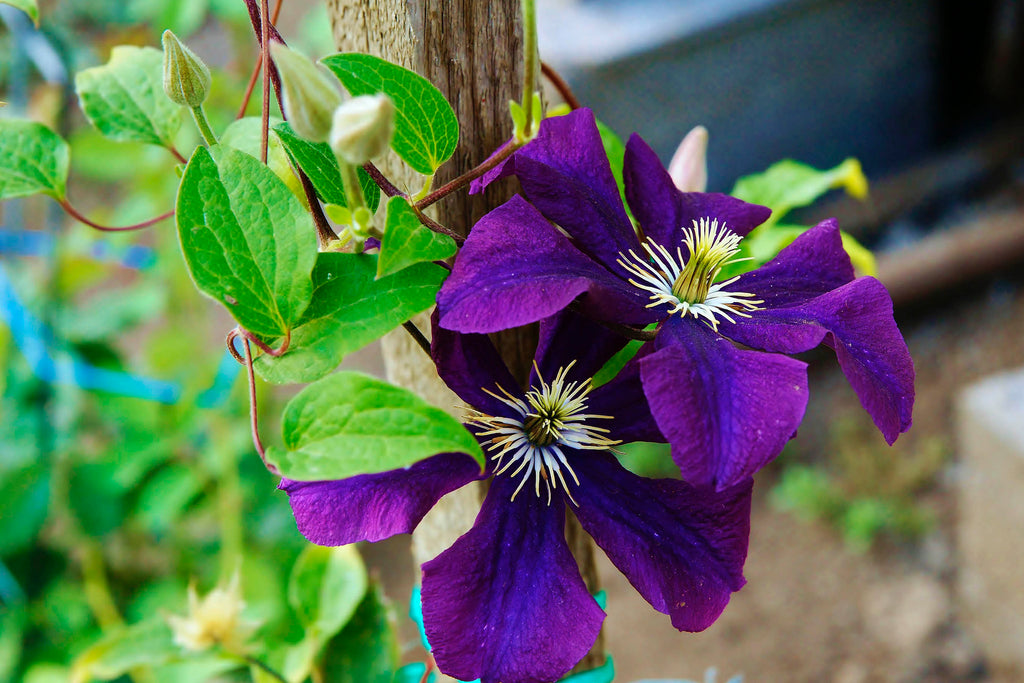 Clematis 'The President' (EL)