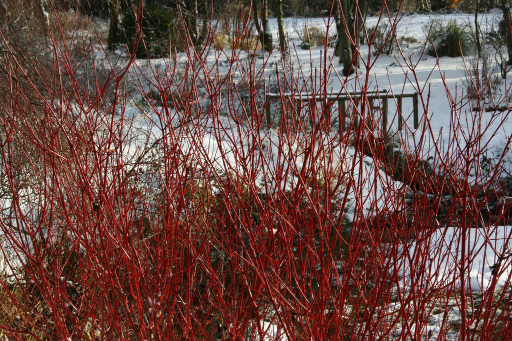 cornus alba 39 sibirica 39 ballyrobert gardens. Black Bedroom Furniture Sets. Home Design Ideas