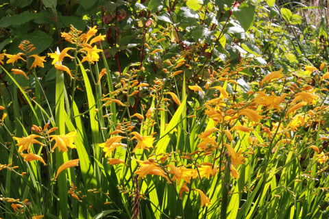 Crocosmia [Jenny Bloom] = 'Blacro'