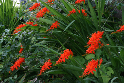 Crocosmia masoniorum 'Flamenco'