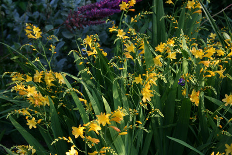 Crocosmia x crocosmiiflora 'Honey Angels'