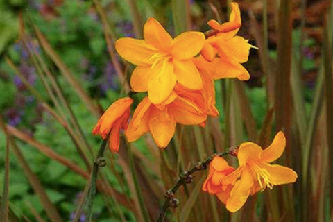 Crocosmia x crocosmiiflora 'Twilight Fairy Gold'