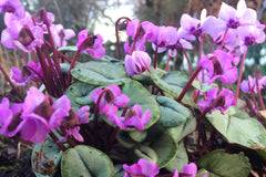 Cyclamen hederifolium (Silver-leaved Group) 'Silver Leaf Pink'