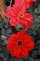 Dahlia 'Bishop of Llandaff' (P)