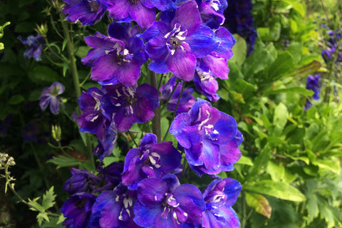 Delphinium 'Ballyrobert Blue Fountain'