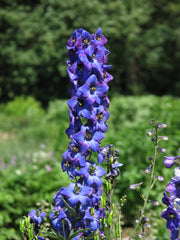 Delphinium Magic Fountains Series