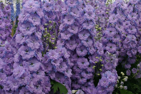 Delphinium 'Misty Mauves' (New Millennium Series) (d)
